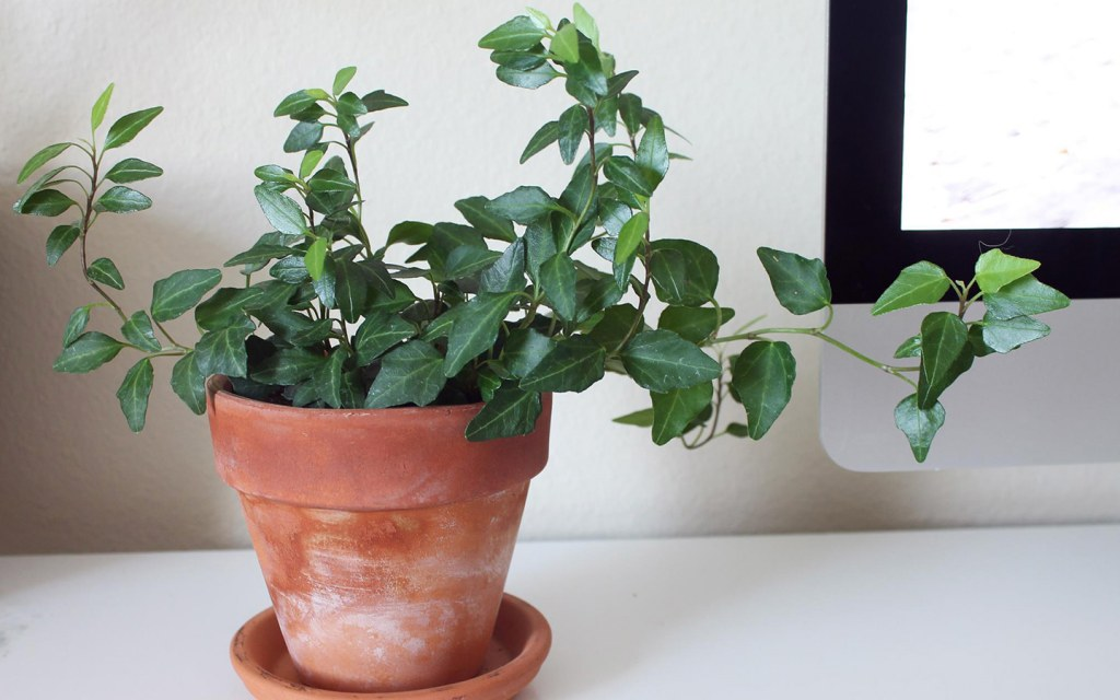 A potted plant for office desk.