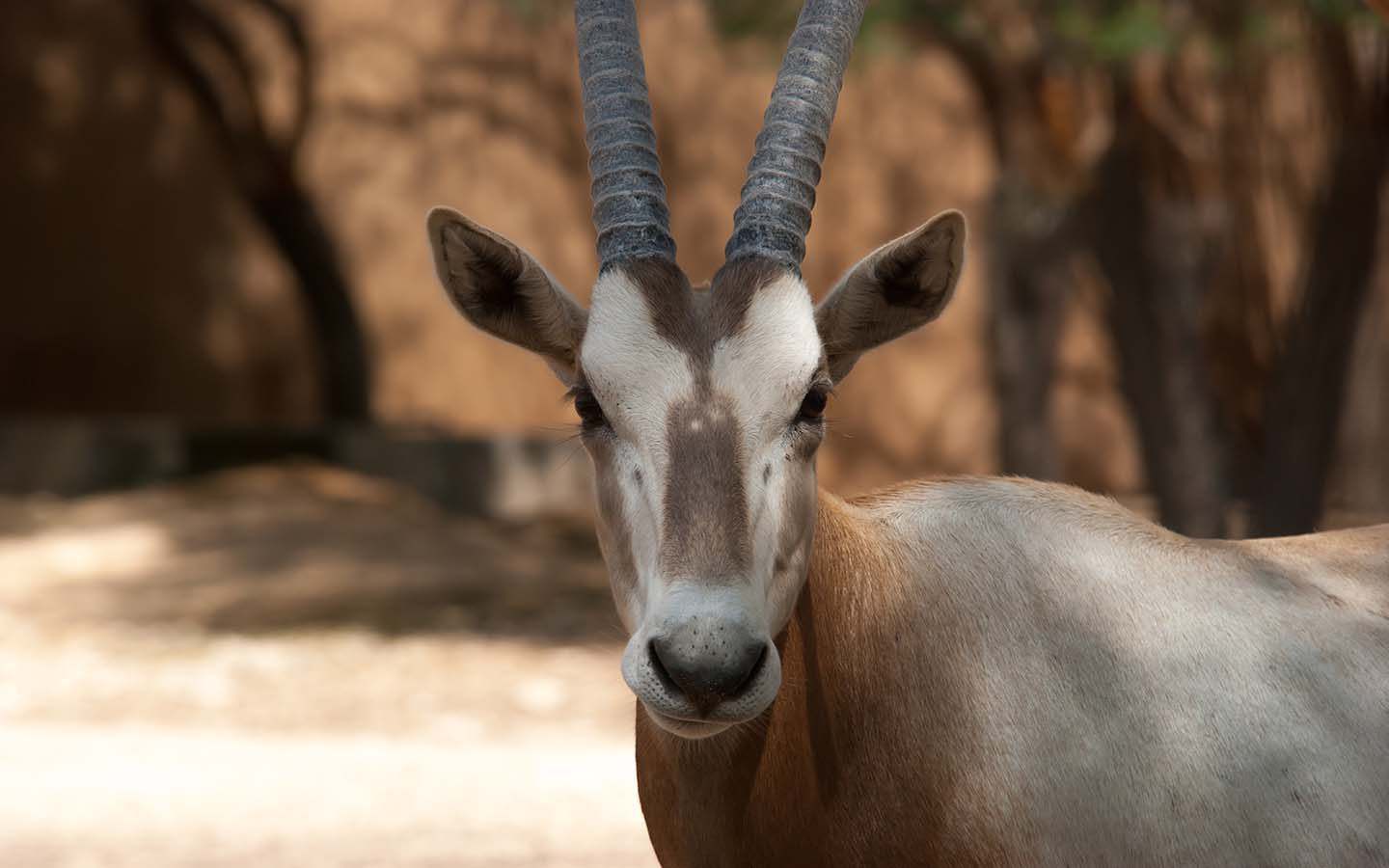 Arabian Oryx spotted in the wild