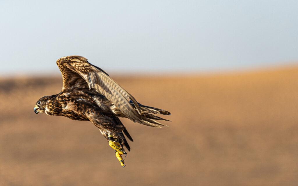 صقر يطير