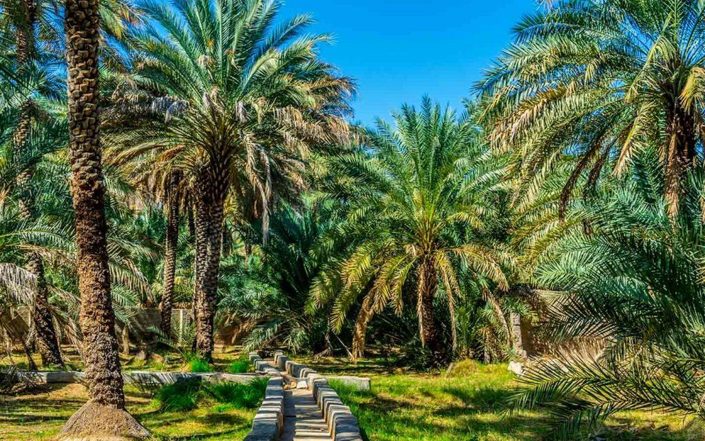 Palm trees at Al Ain Oasis with falaj irrigation