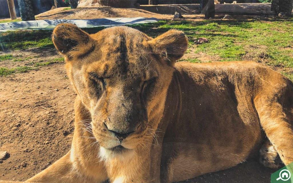Lions in Al Ain Zoo