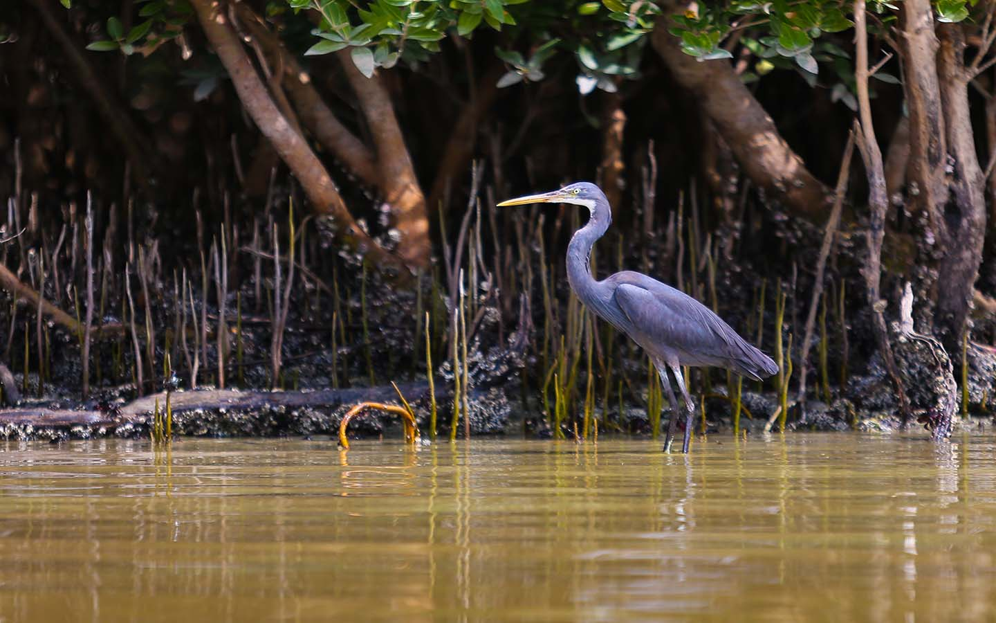 A bird standing in shallow water at Eastern Mangrove Abu Dhabi