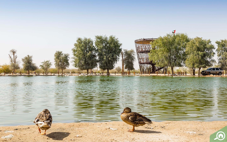 birds in Al Qudra Lake