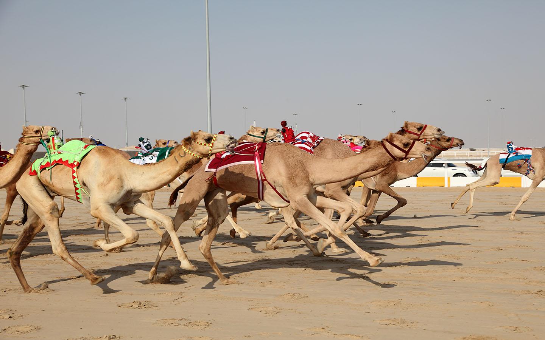 Popular sport camel-racing in the UAE