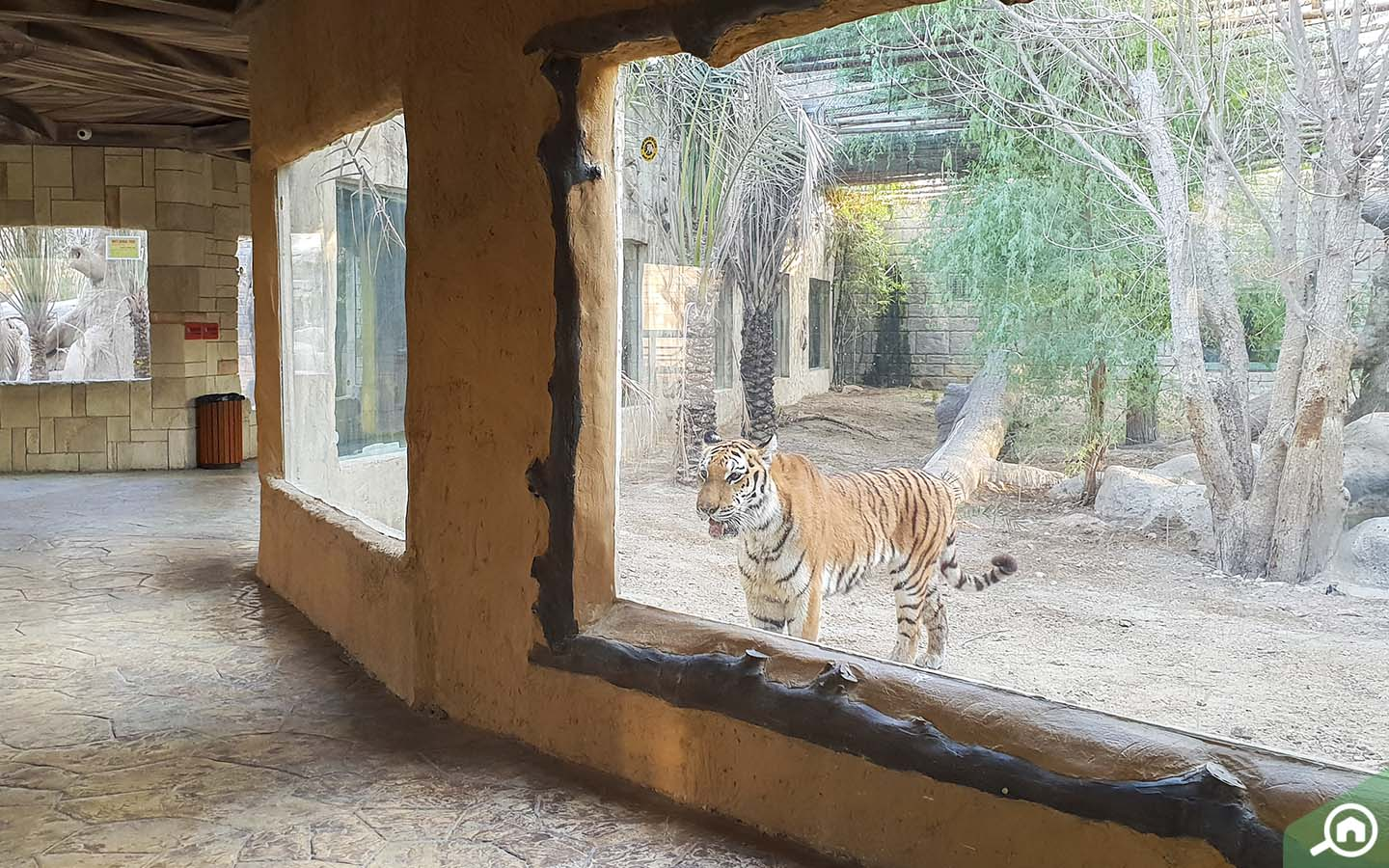 View of tiger in enclosure that can be seen when visiting Emirates Park Zoo, one of the top things to do in Abu Dhabi