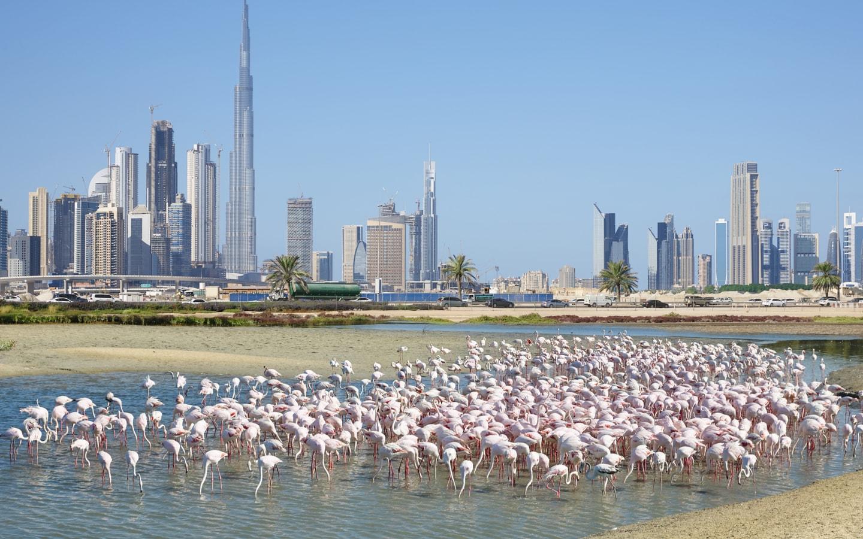 Flamingos in the Ras Al Khor Wildlife Sanctuary