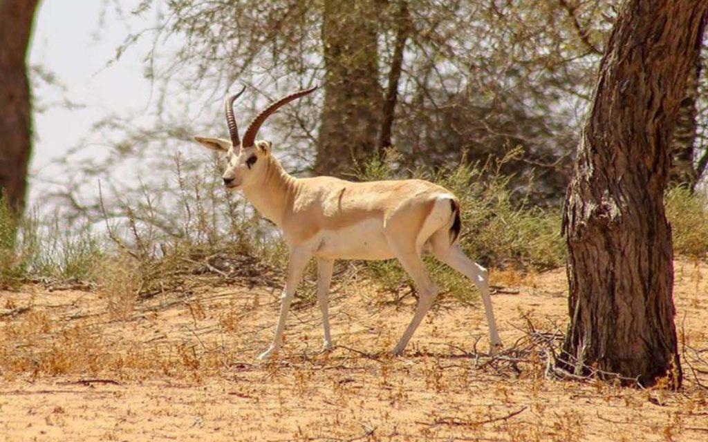 Goitered Gazelle in Arabia's Wildlife Centre