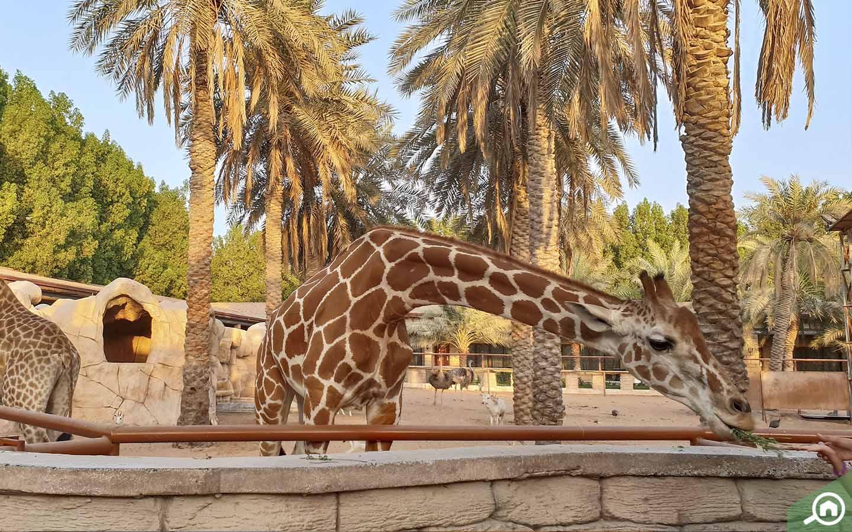 Feeding Giraffes in Emirates Park Zoo