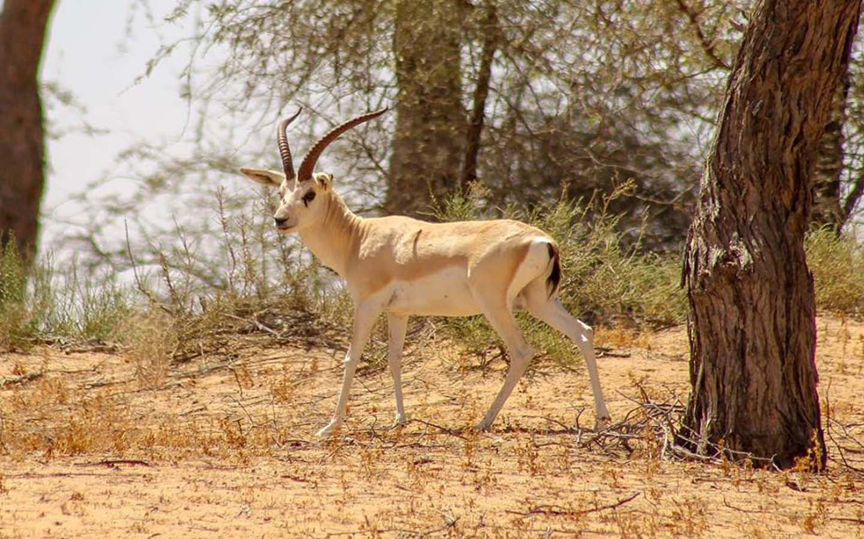 A Gazelle in Arabia's wildlife centre
