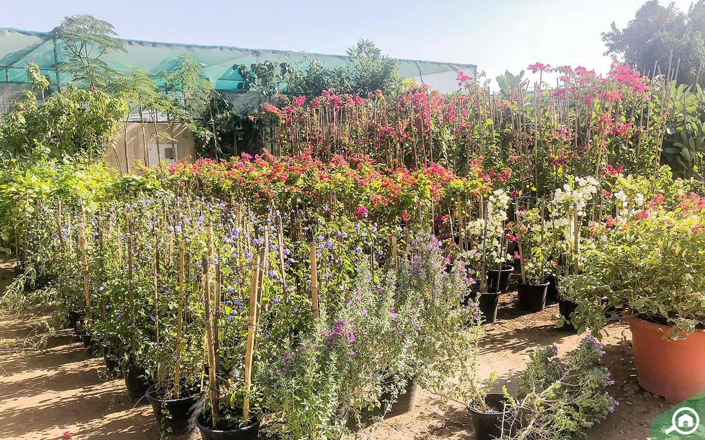 plants in Green Glades Plant Nursery in Dubai