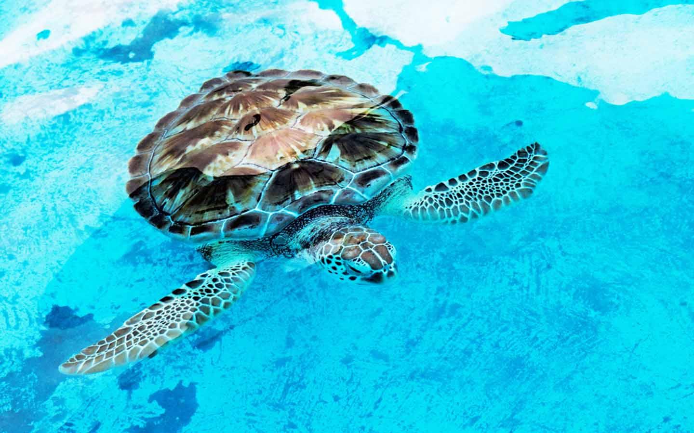 Hawksbill turtle rehabilitation