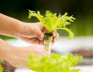 Person growing plants in a hydroponic garden in Dubai