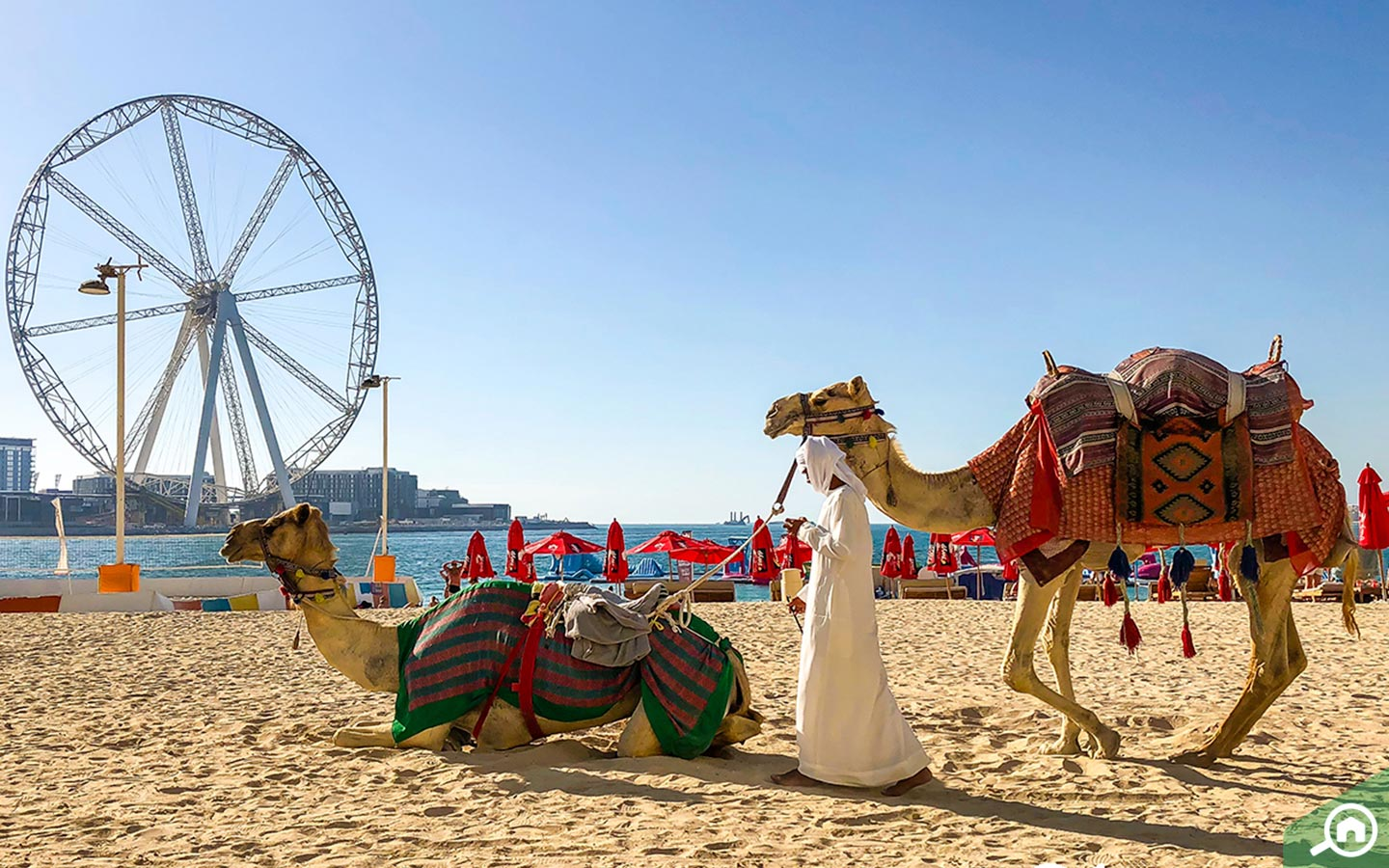 View of camels at JBR Public Beach with Ain Dubai in the background