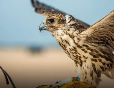 Arabian Eagle ready to take flight