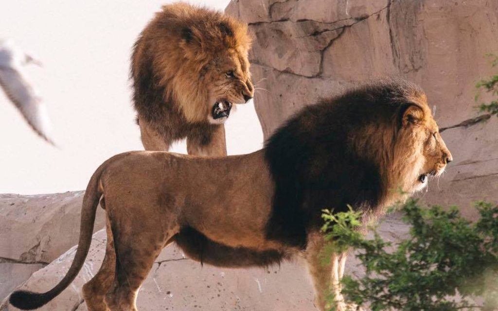 Lions at Dubai Safari Park