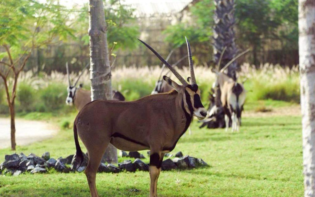 Arabian Oryx at Lions at Dubai Safari Park