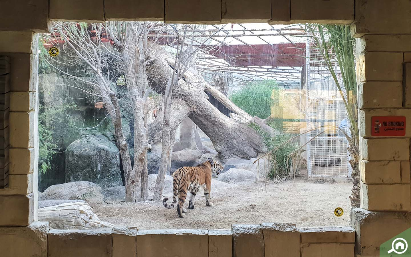 Tiiger at emirates park zoo