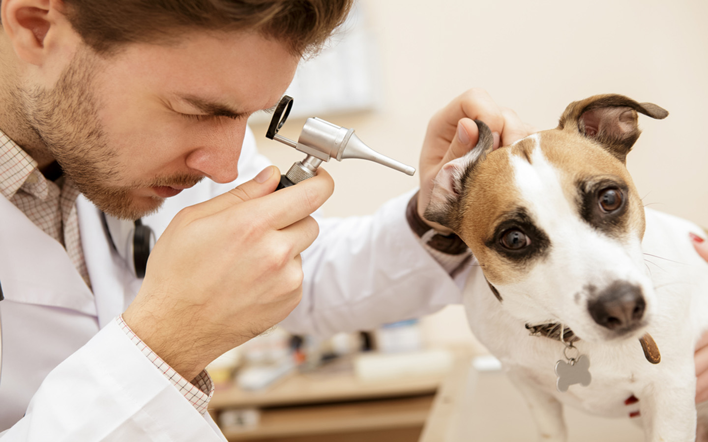 Dog being checked for infection