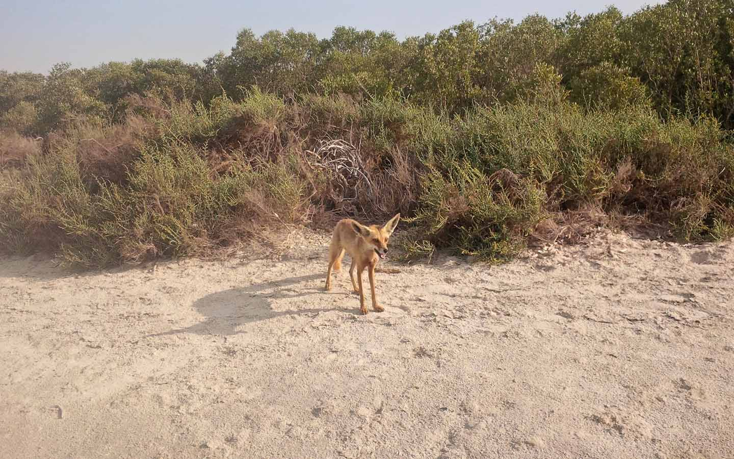 A fox at the Mangrove forest Abu Dhabi