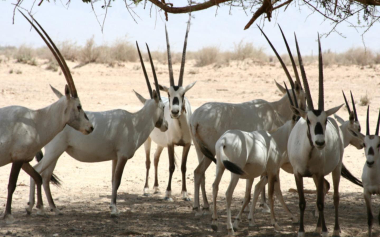 Arabian oryx in UAE