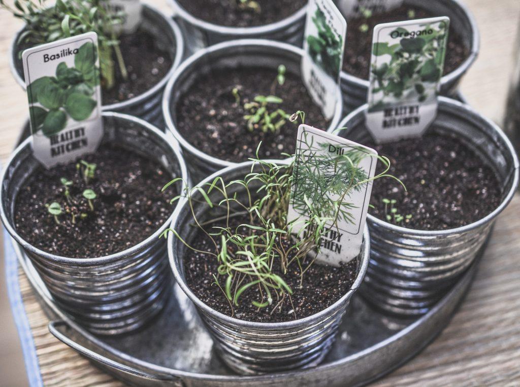 growing your own balcony garden in dubai: dill, basil