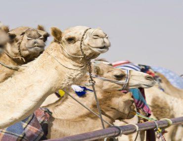 camel race dubai