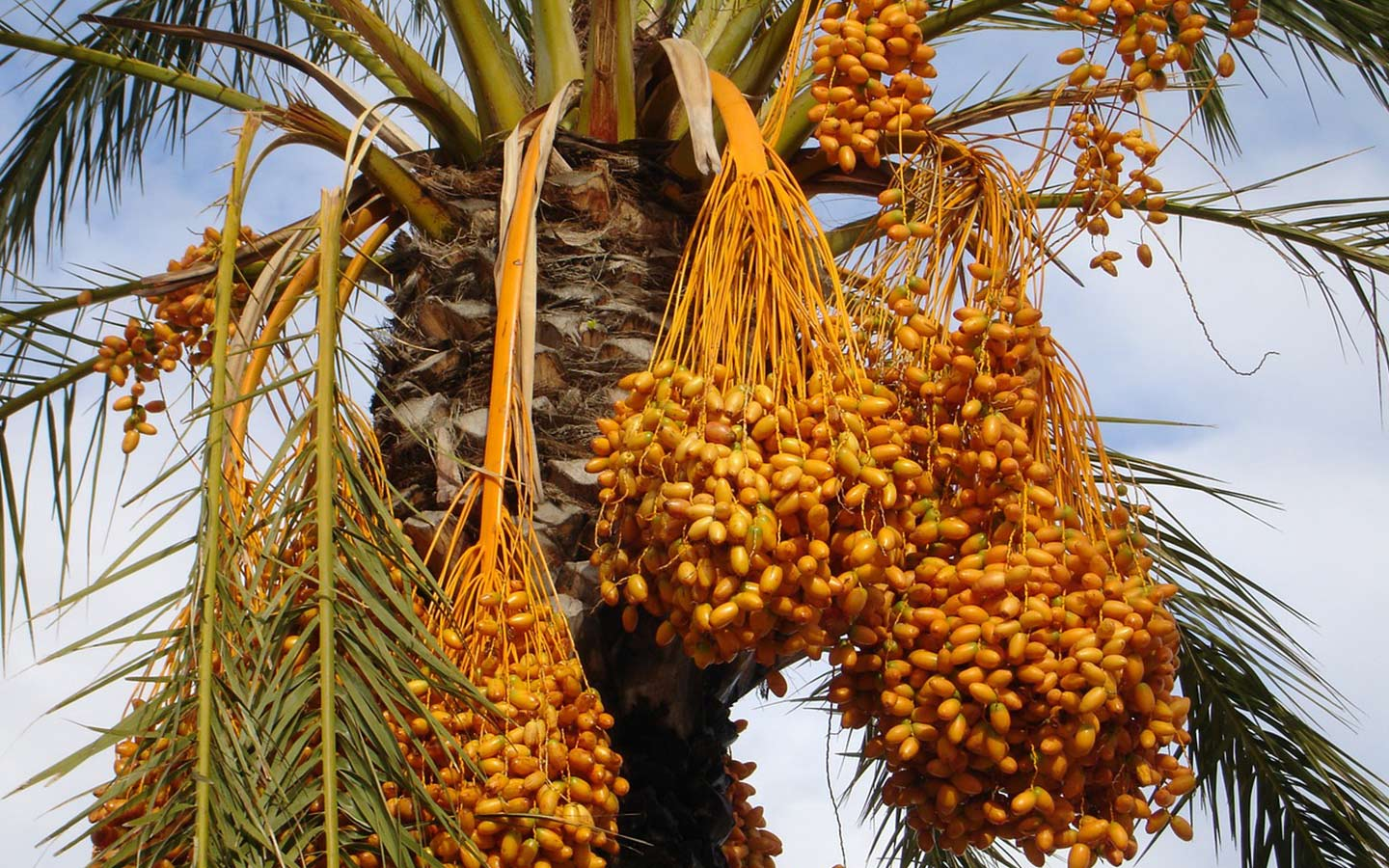 Date palm trees in the UAE