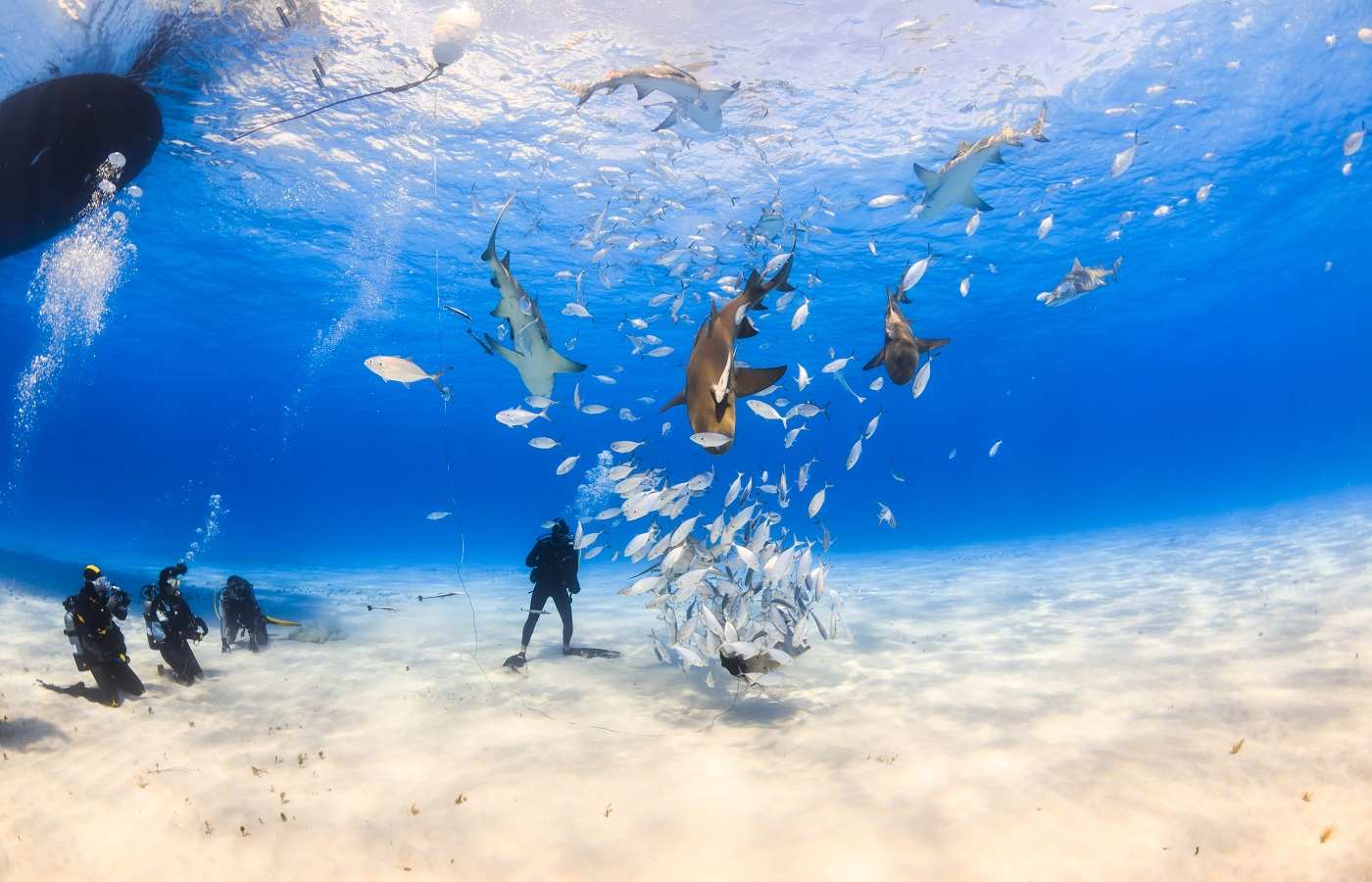 Divers around sharks and other marine life