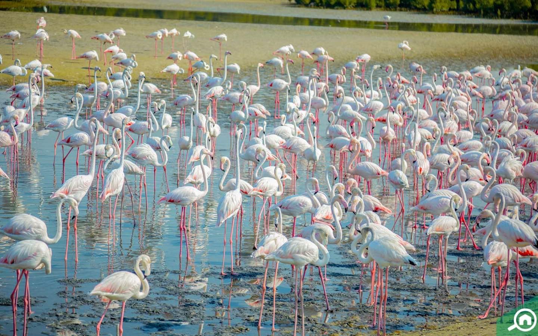 Flamingos in Ras Al Khor Sanctuary