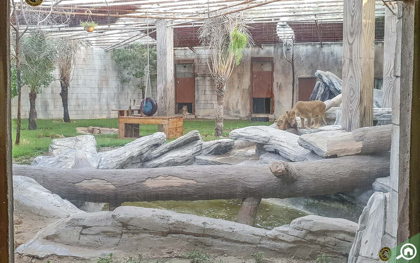 Lions in Emirates Park Zoo