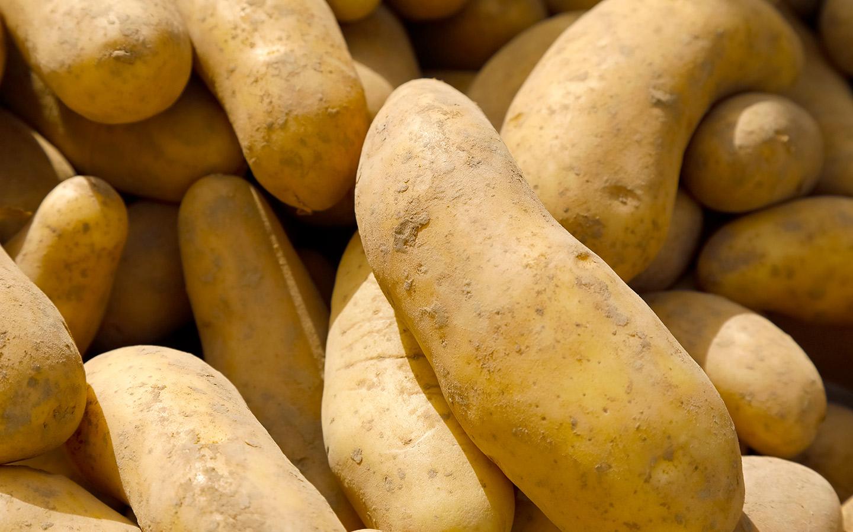 تكون زراعة البطاطا عن طريق قطعها في المنتصف ودفنها في التربة