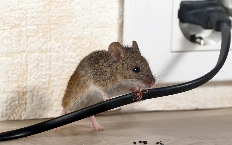 rodent control in Dubai
