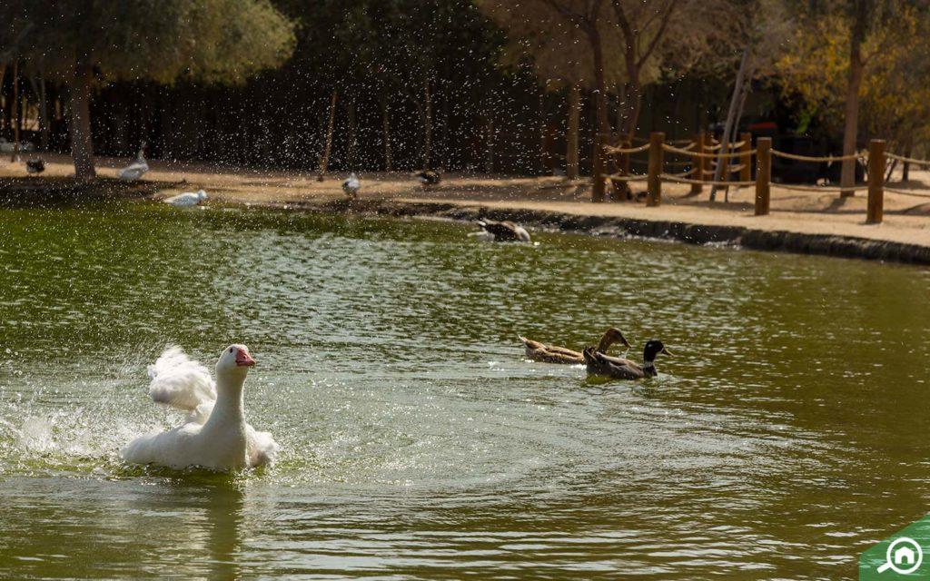 Swans and ducks at Al Qudra Lakes