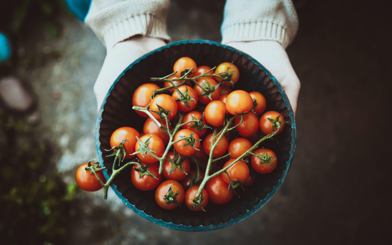 يجب أن تزرع البندورة في بيئة مزودة بكمية مناسبة من السماد والرطوبة